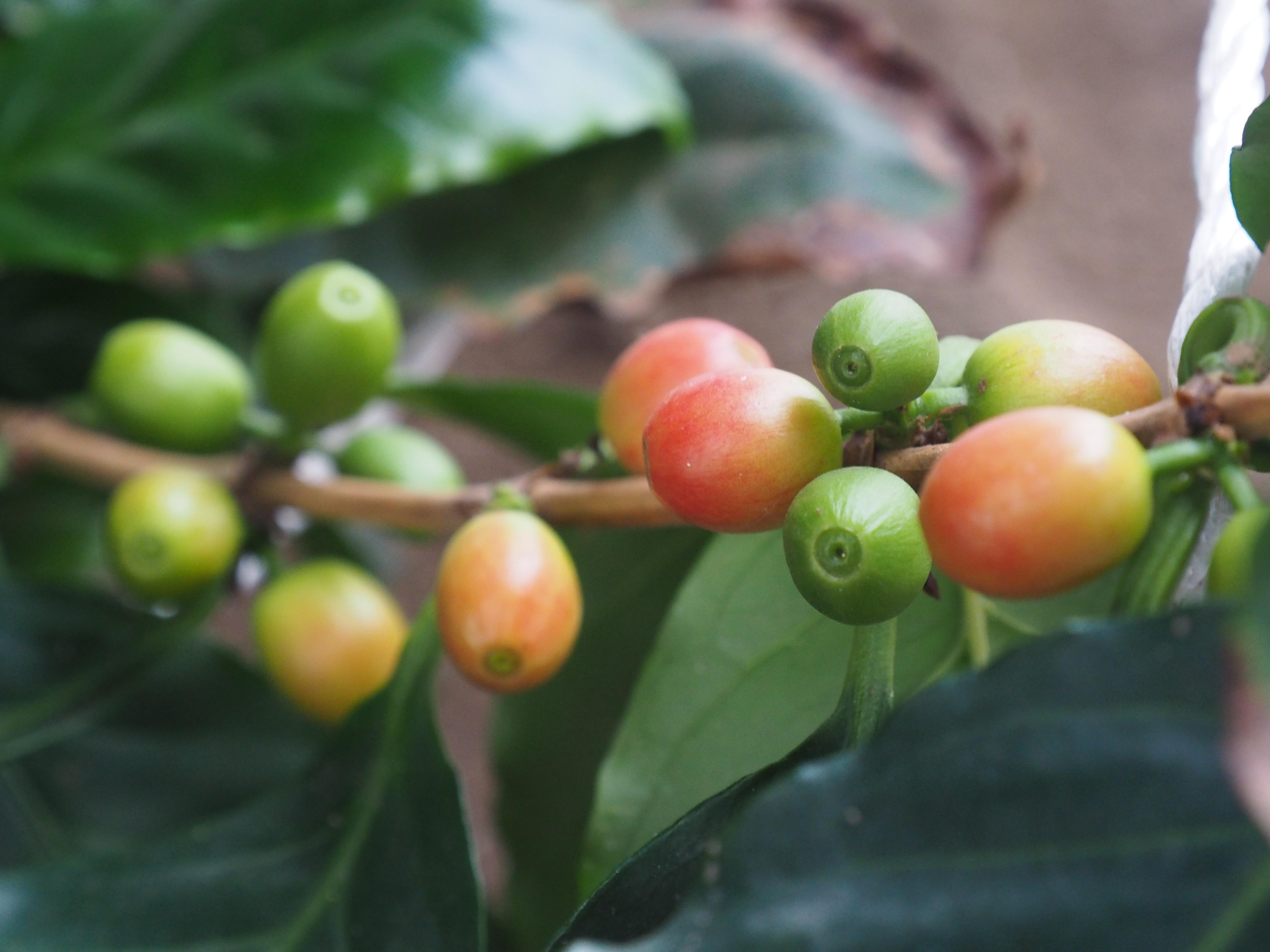 温泉でコーヒー収穫?!弟子屈町で続く、温泉の可能性を広げる大きな挑戦