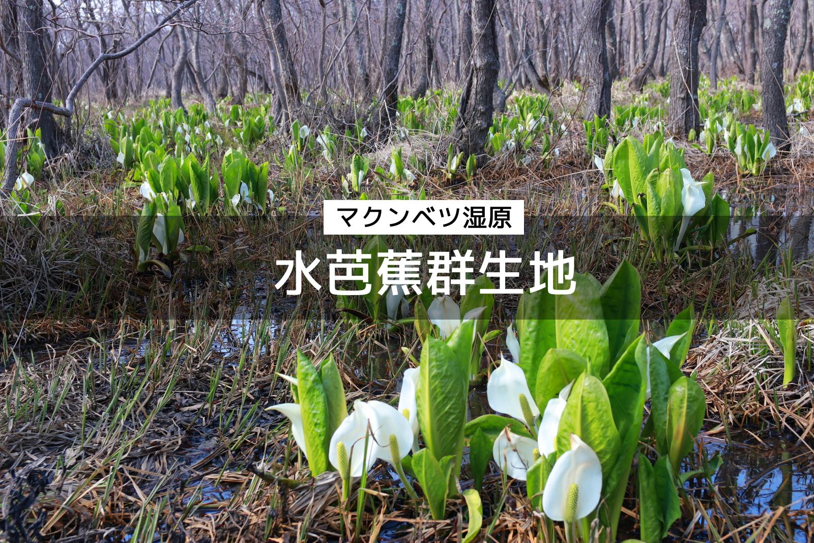 石狩市のミズバショウ群生地「マクンベツ湿原」で春の訪れ感じよう
