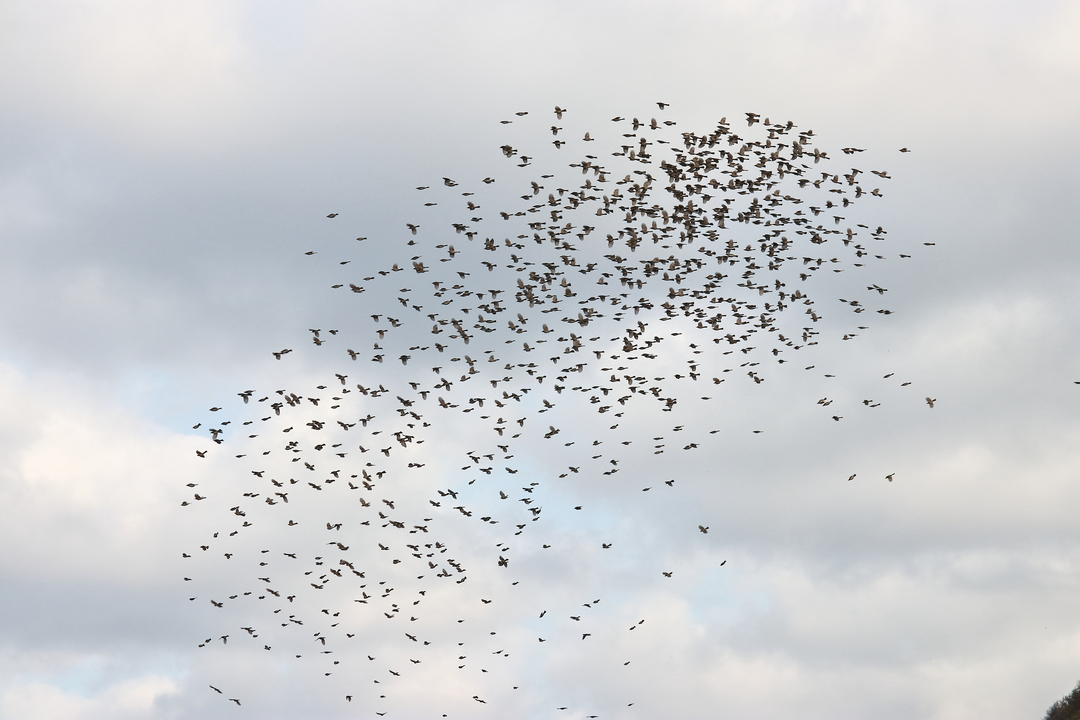 数百羽が海面すれすれを飛び本州を目指す!松前町白神岬の海峡渡り