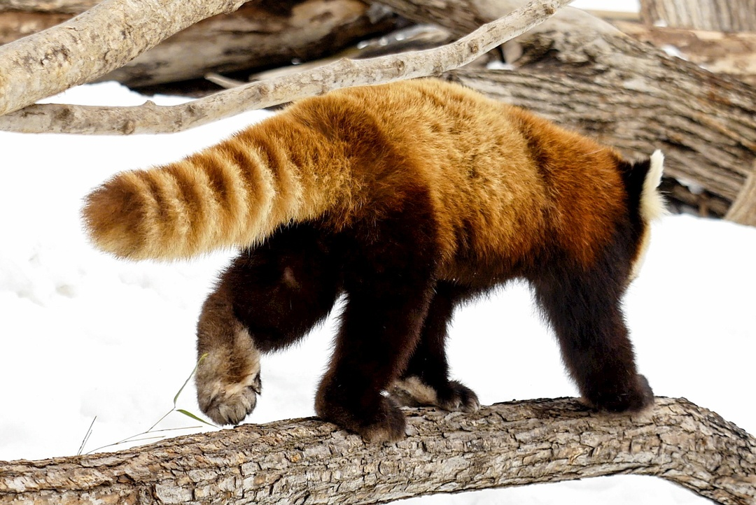 円山動物園のレッサーパンダはココが可愛い!そのポイントを徹底解説