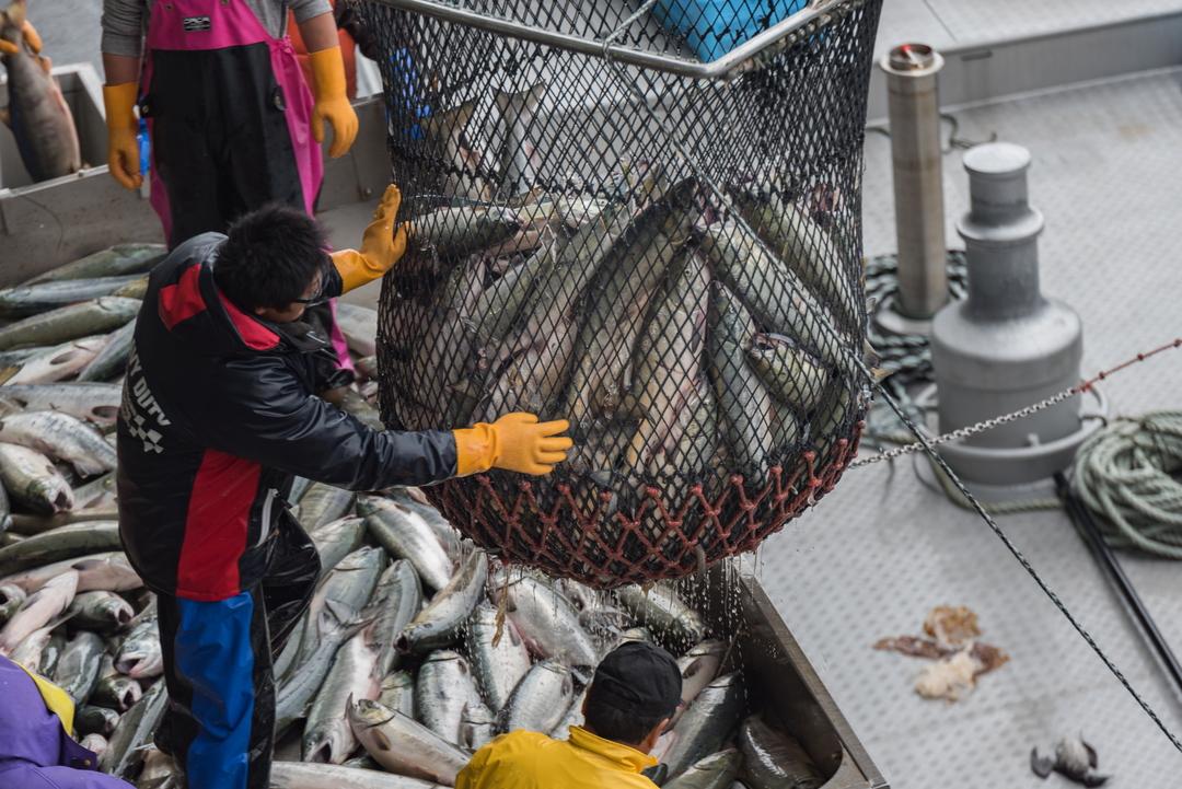 鮭の漁獲量が日本一!知床ウトロで秋鮭漁に密着してきました!