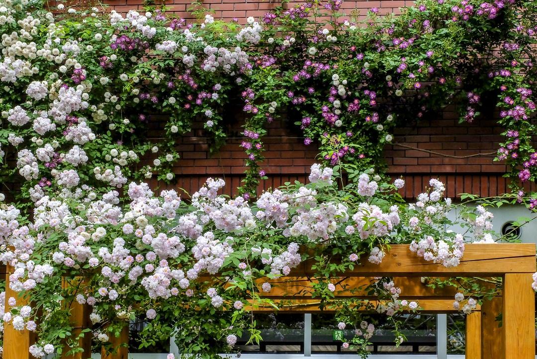 見どころは道内最大級のつるバラ!岩見沢市の室内ガーデン「色彩館」