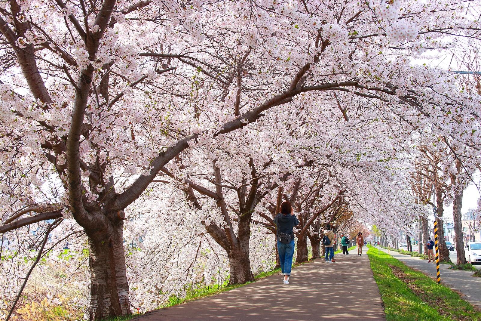 日本一の直線桜並木が札幌にあった?! 総延長10.5㎞「新川さくら並木」