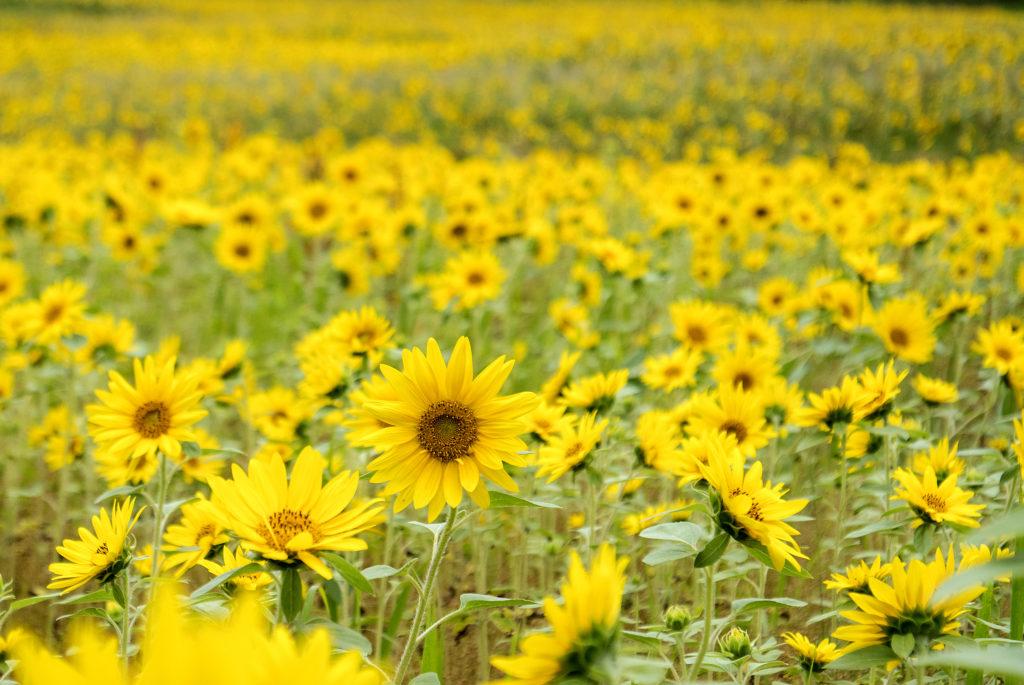 10月なのにひまわり畑!? 洞爺湖の南側でひまわりが年2回咲く理由とは