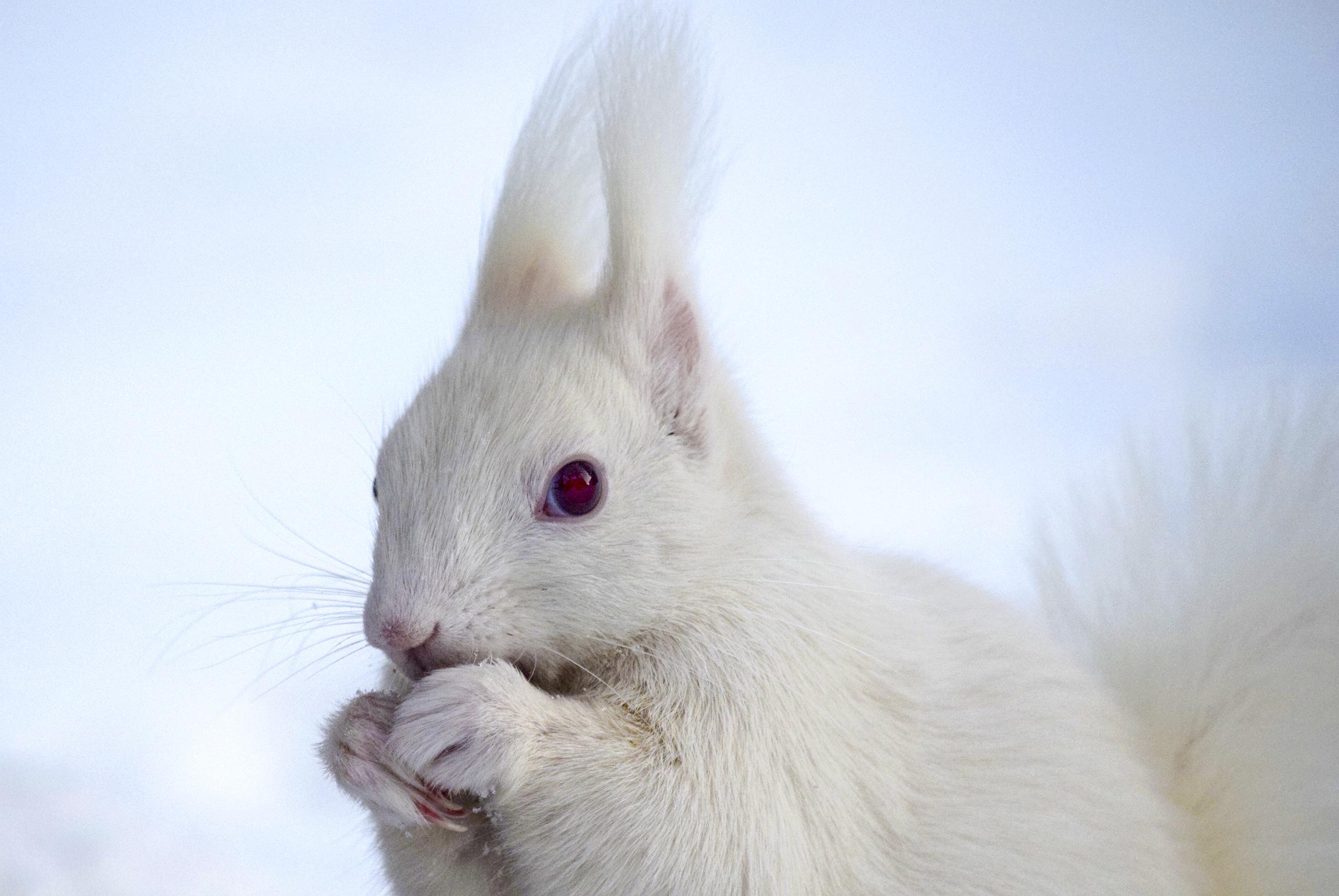 え!! 白いエゾリス!? 帯広畜産大学で珍しい姿が確認され話題に